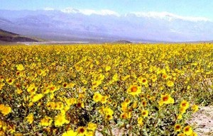 Flowers came to life in Death Valley following the extremely rare rainfall in 2005.